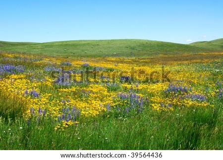 Wilde flowers on prairie in the waterton lakes national park, alberta, canada - stock photo