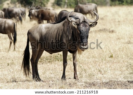 Wildebeest (Connochaetes) migrating on the Maasai Mara National Reserve safari in southwestern Kenya. - stock photo