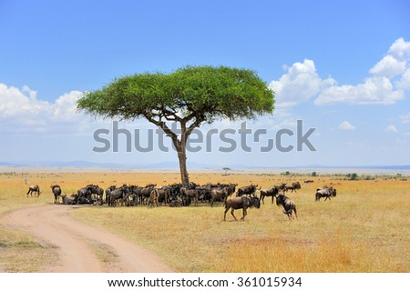 Wildebeest in National park of Kenya, Africa - stock photo