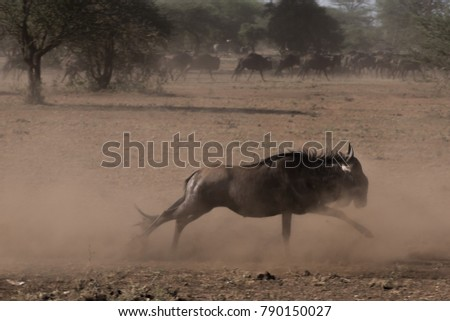 Wildebeest is running fast away from predator, cloud of dust and dirt, african wilderness, October 2017, Tanzania, Africa