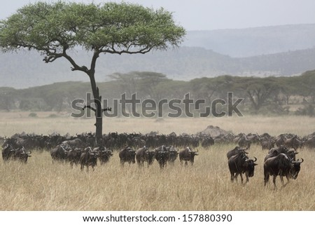 Wildebeest migrating in the african savanna - stock photo