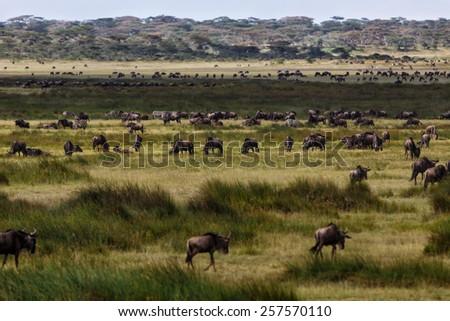 Wildebeest migration in the marsh of Ngorongoro Conservation Area, Tanzania - stock photo