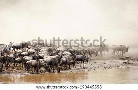 Wildebeest Migration in the Masai Mara - stock photo