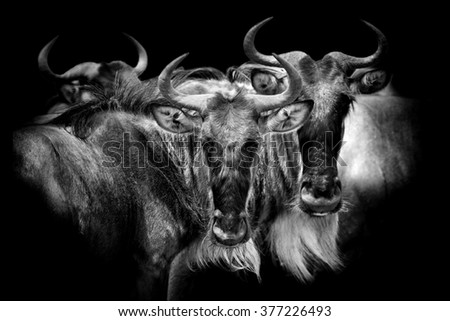 Wildebeest on dark background. Black and white image