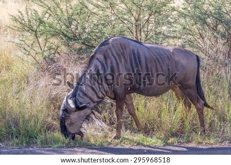 Wildebeest, Pilanesberg national park. South Africa. - stock photo