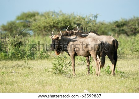 Wildebeests - stock photo