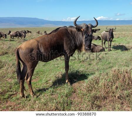 Wildebeests in Crater Ngorongoro National Park - Tanzania - stock photo