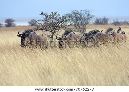 Wildebeests traversing savannah. Etosha NP., Namibia - stock photo