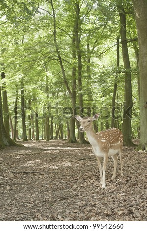 wilderness animal of fallow deer in Black Forest, Germany,europe - stock photo