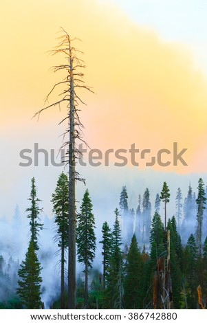 Wildfire Smoke behind Tall Dead Pine in Younger Pine Forest - stock photo