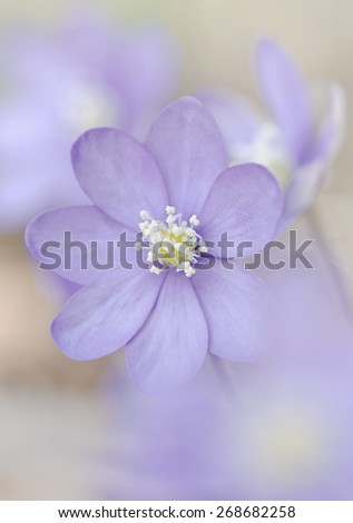 Wildflower during spring in a light violet color during a sunny day, Hepatica nobelis - stock photo