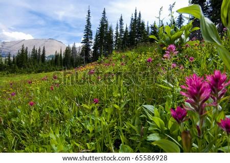 Wildflower field in Glacier National Park Montana - stock photo