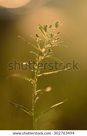 Wildflower in backlight a sunny day - stock photo