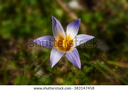Wildflower in early spring - stock photo