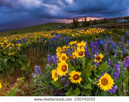 Wildflower in storm cloud, Columbia hills state park, Washington - stock photo