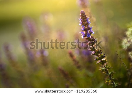 Wildflower in sunset. Check my portfolio for more amazing nature photos. - stock photo