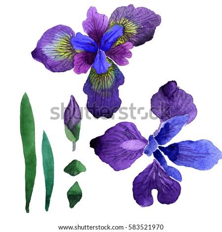 wild iris stock images, royaltyfree images  vectors  shutterstock, Natural flower