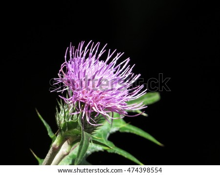 Wildflower, Japanese thistle.