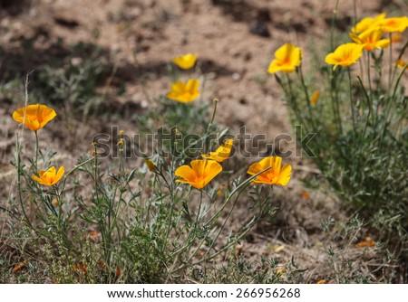 Wildflower, Mexican Gold Poppy, in semi-desert on sunny Spring day/Mexican Gold Poppy, Wildflower in Semi-Desert Terrain, in Daytime Springtime Sun/Wild Mexican Gold Poppy in sunshine - stock photo