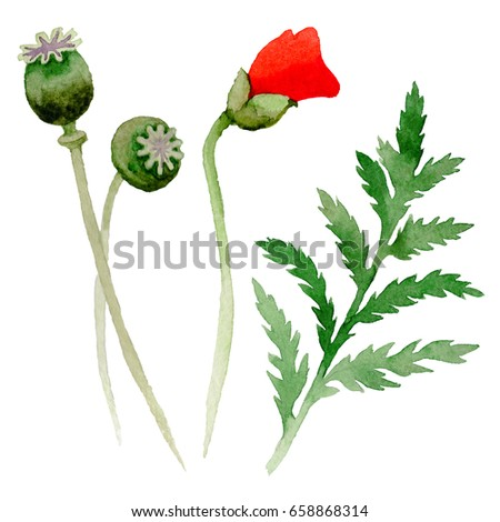 Cartoon flower stock vector 215363131 shutterstock wildflower poppy flower leaf in a watercolor style isolated full name of the plant mightylinksfo