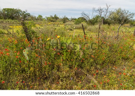 Wildflower season in Central Texas. Indian Blanket and cactus growing along fence. - stock photo