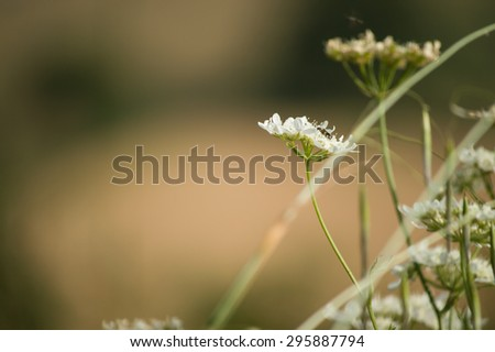 wildflower with insect Tuscan hills - italy - stock photo