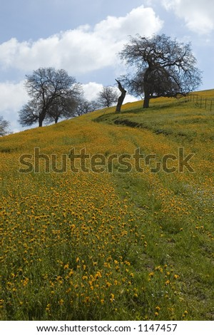 Wildflowers abound when spring comes to the foothills of the Sierra Nevada Mountains in California