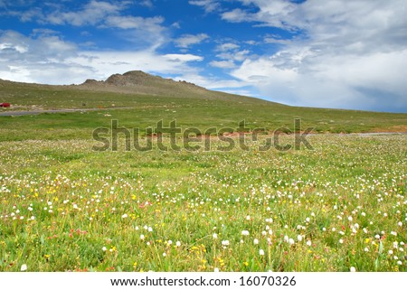 Wildflowers across the tundra at Mt. Evans, Colorado. - stock photo