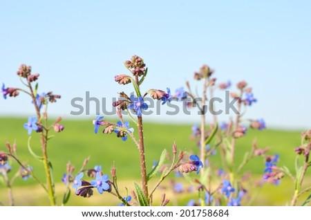Wildflowers (Anchusa stridosa) in spring desert - stock photo