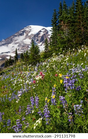 Wildflowers and snow covered Mount Rainier in Mount Rainier National Park, Washington - stock photo