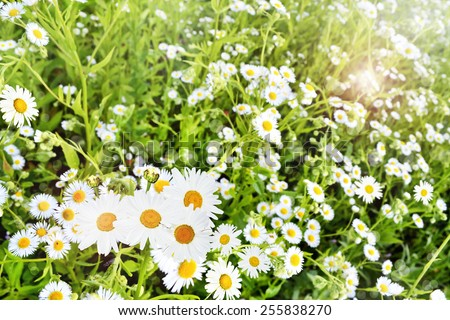 Wildflowers daisies - stock photo