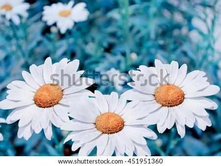 Wildflowers daisies. Summer landscape. white chamomile flowers - stock photo