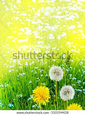 Wildflowers dandelions - stock photo
