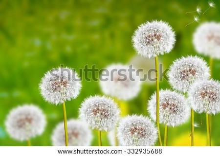 Wildflowers dandelions. Spring flowers. - stock photo