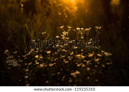 wildflowers in sundown. Check my portfolio for more amazing nature photos. - stock photo