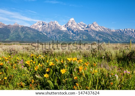 Wildflowers in the Grand Teton National Park, Wyoming. - stock photo
