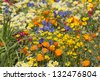 Wildflowers of California including Eschscholzia, Common Madia, Madia elegans and Anchusa 'Loddon Royalist' - The Fetzer Sustainable Winery Garden, Chelsea 2007 - stock photo