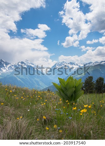 Wildflowers of the North Caucasus mountains in the background