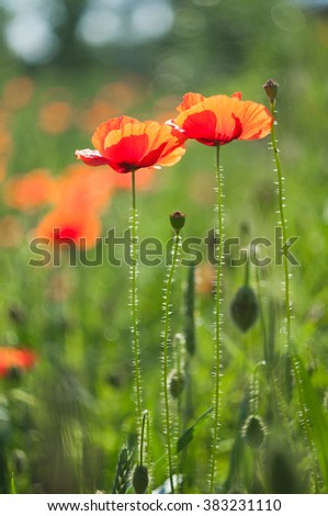 Wildflowers red poppies - stock photo
