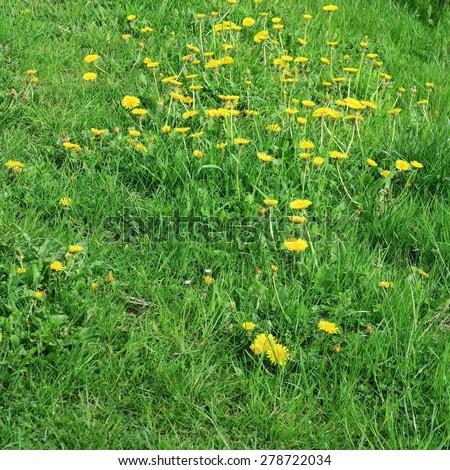 wildflowers, taraxacum, yellow flowers meadow in springtime - stock photo