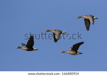 Wildgaense, im Flug, Anser anser, Wild geese, flying - stock photo