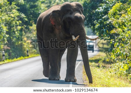 wildlife, Asian elephant walking on the road at Khao Yai National Park, Thailand