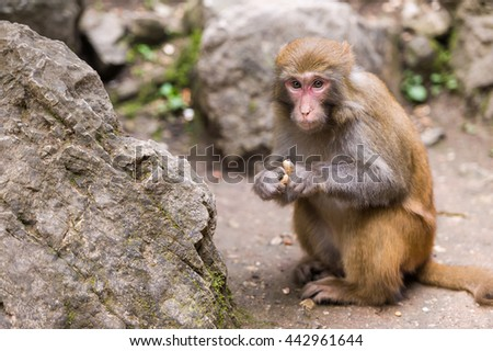 Wildlife brown monkey feeding on peanuts and looking at camera. - stock photo