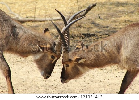 Wildlife from Africa - Waterbuck bull fight.  This normally happens to claim territories and become more prominent during the mating season.  The turn of the season give birth to high hormones.