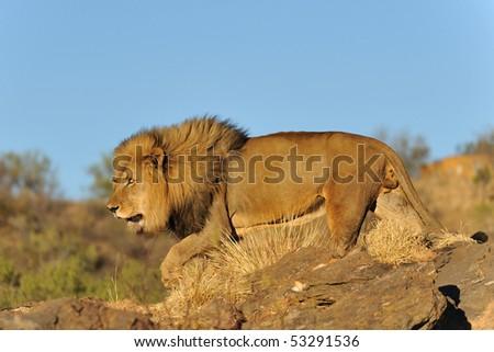 wildlife in Namibia. lion - stock photo