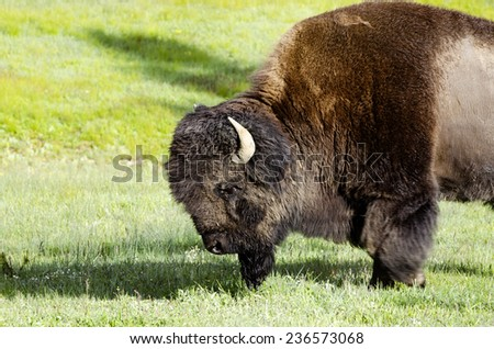 wildlife in  Yellowstone national park USA - bison - stock photo