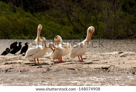 Wildlife landscape: American white pelicans preening at summer breeding territory in Minnesota wildlife refuge  - stock photo