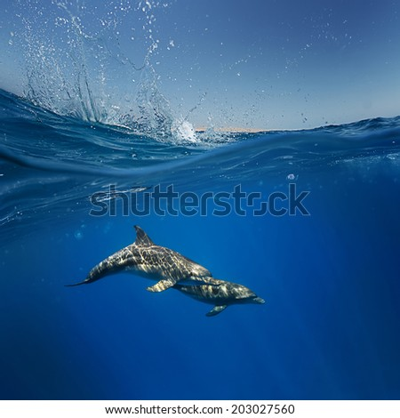 Wildlife marine postcard. A pair of friendly playful funny dolphins under water line - stock photo