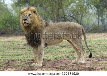 Wildlife of South Africa's Kruger National Park - standing lion with facial lacerations after a fight. - stock photo