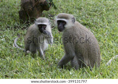 Wildlife of South Africa's Kruger National Park - vervet monkeys